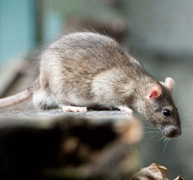San Antonio Rat Control